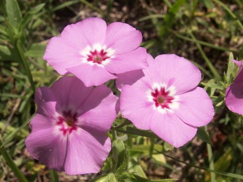 100502-pinkflowers2-ok