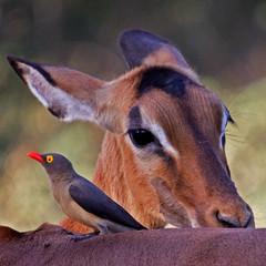 Hi there.... (gerdavs) Tags: wildlife impala rooibok aepycerosmelampus redbilledoxpecker nearthreatened buphaguserythrorhynchus animalkingdomelite rooibekrenostervoël naturesgreenpeace mothernaturesgreenearth knp2010