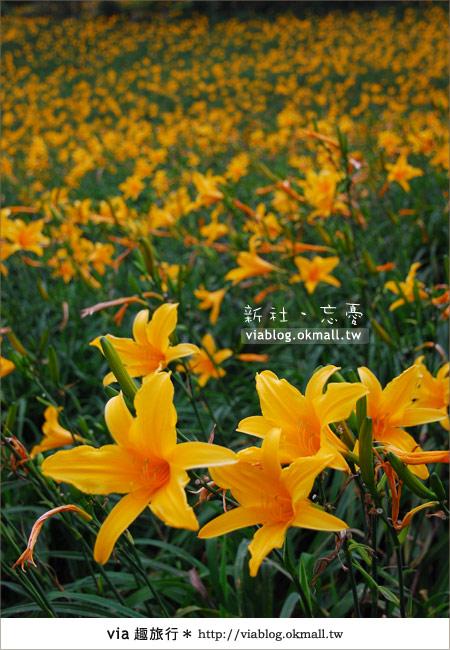 【台中休閒農場】2010金針花~新社沐心泉金針花9