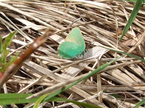 Green Hairstreak butterfly (4)
