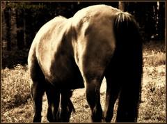 ~~Courbes lumire~~ (Jolisa) Tags: light horse nature caballo cheval evening nikon lumire soir pferd spia croupe plantecheval