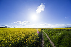 Yellow And Blue (Dkillock) Tags: sky cloud sunlight plant flower field canon lens track angle farm farming wide sigma wideangle farmland full frame flare oil 5d crops 12mm agriculture fullframe ultra popeye rapeseed ultrawideangle 5dmarkii 5d2 5dmkii sigma1224mmf4556exdgaspherical