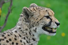 Cheetah (Truus & Zoo) Tags: netherlands animals zoo cheetah cheeta kerkrade vulnerable dierentuin gepard gaiapark acinonyxjubatus jachtluipaard itsazoooutthere flickrbigcats