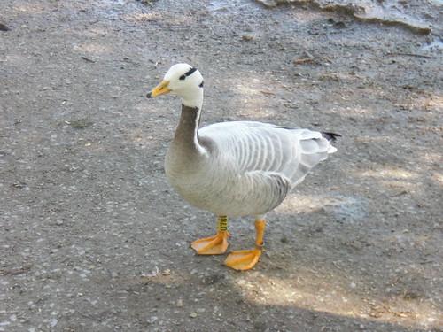 Горный гусь - Bar-headed goose