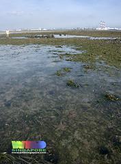 Seagrass meadows of Cyrene (wildsingapore) Tags: nature landscape island marine singapore underwater wildlife coastal shore intertidal seashore seagrass marinelife wildsingapore cyrene