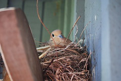 mamma 3 (Miss a Liss) Tags: bird nikon nest dove creative commons dslr nesting mammabird nikond300