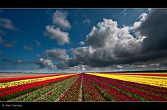 colored lines... (Alex Verweij) Tags: sky holland colors lines clouds canon landscape tulips wolken lucht colori flevoland landschap almere tulpen lijnen kleuren 10mm bollenveld dramatisch 40d abigfave alexverweij