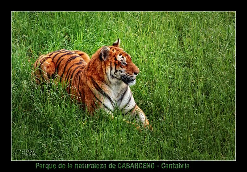 Cabárceno - Tigre de Bengala