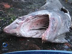 cmaximus09 (Tiburones Chile) Tags: chile peregrino diversidad biodiversidad especieamenazada tiburonperegrino sabiasquedescubre