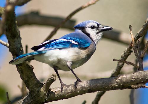 [フリー画像] 動物, 鳥類, カラス科, アオカケス, 201005221900