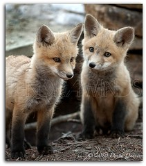 Fox Kits (Tundra Winds Images by Donna) Tags: bravo colorado play wildlife kits redfox vulpesvulpes specanimal wildcanids