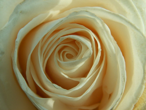 Mother's Day White Rose