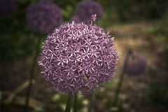 Purple Allium Globemaster