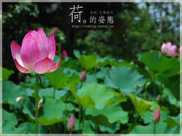 【2010賞荷】南投中興新村~荷花(蓮花)池準備盛放!12