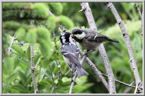 Coal Tit Feeding Fledgeling 3