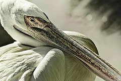 The Pelican brief (cliccath) Tags: portrait bird animal zoo pelican oiseau pelecanusonocrotalus pelecanus pelecanidae zoodebeauval pelican pelecaniforme flickraward cliccath cathschneider
