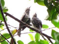 Cucarachero chocorocoy [Stripe-backed Wren] (Campylorhynchus nuchalis brevipennis)