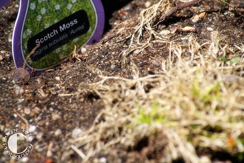 142-scotch moss2