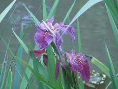 Beauty (buslik2402) Tags: flower nature beauty river photo flikcr