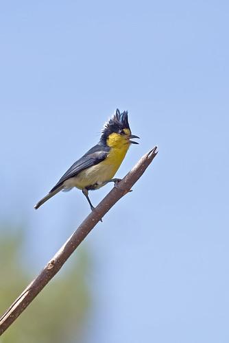 Taiwan Tit - 黃山雀