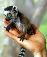 Ring tailed lemur (floridapfe) Tags: baby cute animal zoo small korea ring lemur tailed  everland ringtailedlemur  nkon
