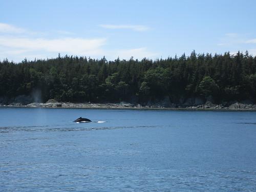humpback whale juneau