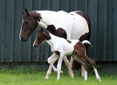 Let's Go Go (Iezzoni) Tags: horse farm painted birth foal foaling quinntango