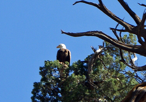 Bald Eagle in the Verde Canyon