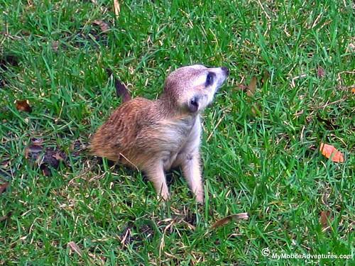 IMG_6989-WDW-DAK-meerkat