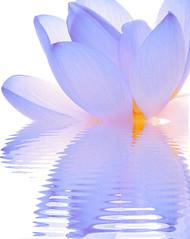 Nelumbo Nucifera - IMG_1628-1 (Bahman Farzad) Tags: flower macro yoga peace lotus relaxing peaceful meditation therapy lotusflower nelumbo nelumbonucifera lotuspetal nucifera lotuspetals lotusflowerpetals lotusflowerpetal
