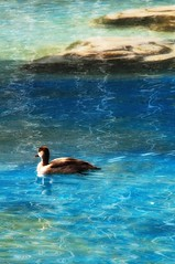 [duck] (Janey Kay) Tags: espaa primavera valencia duck spring spain may mai ente espagne printemps canard valence 2010 nikkor18200mmvr nikkor18200mm nikkor18200mmf3556vr nikkor10mmfisheye janeykay nikond300s