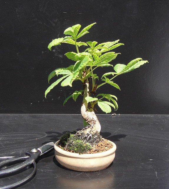 Wee Trees Bonsai Help Forum Advice For All View Topic Horse Chestnut Query