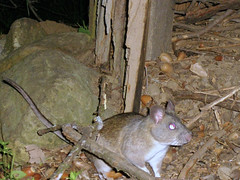 woodrat shows stick to camera