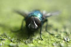 Sup? :] (Christopher-Marshall) Tags: wood blue macro green fence fly eyes focus bokeh bluebottle