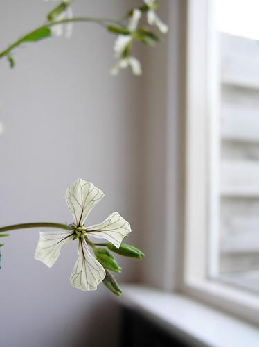 Ruccola flowers II