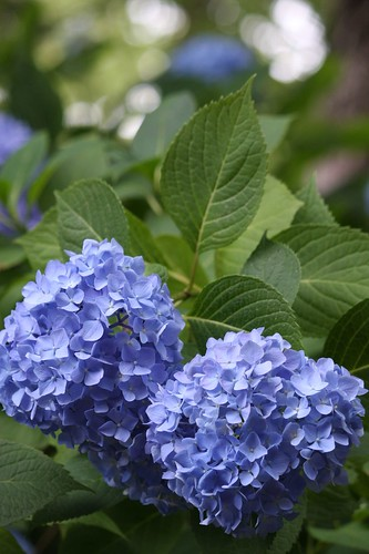 Hydrangea 紫陽花