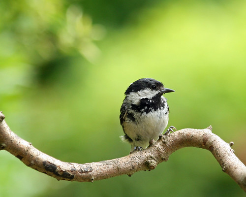 Coal Tit by Mukumbura