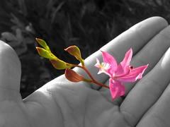 Calopogon (Chlorophil7) Tags: flowers plants orchid flower nature orchids orchidaceae wildorchid wildorchids calopogon calopogontuberosus grasspink tuberosus chlorophil7 minnesotaorchids