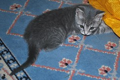 Millie 4 June 2010 0002b 4x6 (edgarandron - Busy!) Tags: cats cute cat kitten tabby kitty kittens kitties millie dilutetabby