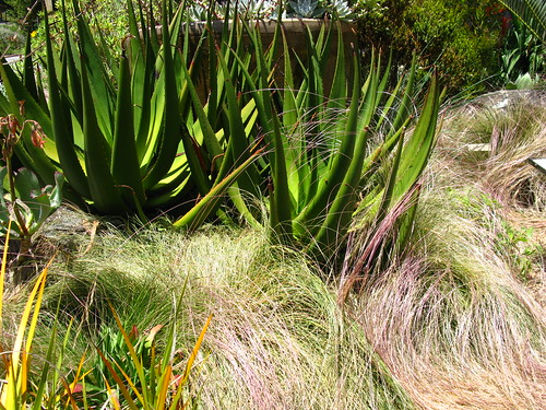 Aloe with Nassella laevissima