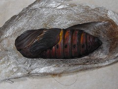 Cecropia pupa 76. (World Unity 9) Tags: nature lifecycle cecropia diapause