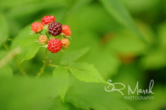 SRM wild berries