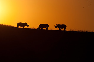Rhinos at Sunset