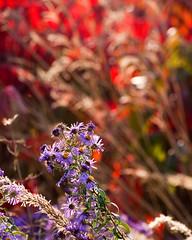 Aster fire (m_shipp22) Tags: red flower nikon purple sumac aster autunm