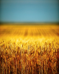 Whole Wheat (Todd Klassy) Tags: life food blur color beer field grass yellow vertical rural brewing landscape outdoors death golden countryside montana soft moody mt flat earth farm horizon farming grain cereal large bluesky nobody farmland depthoffield zen crop harmony stems planet land backgrounds layers copyspace agriculture minimalism conceptual fiber flour chinook dreamlike idyllic minimalist tranquil americanwest clearsky linear stockphoto subtle wholewheat vast philosophical greatplains stockphotography layered healthyeating designelement hiroshisugimoto wheatfarm colorimage wideopenspaces organicfarming wheatbran montanawheat horizonoverland chinookmontana montanalandscape toddklassy