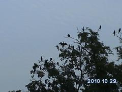 Migratory birds, Sarsai Nawar Wetland