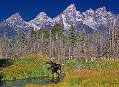 Looking 4 U (P. Oglesby) Tags: autumn mountains landscapes moose grandtetonnp thehighlander godlovesyou coth godscreatures absolutelystunningscapes fantasticwildlife dragondaggerphoto coth5 schwabcherslanding mygearandmepremium dailynaturetnc10