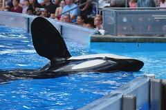 Believe (Seals4Reals) Tags: world show park blue sea baby aquarium orlando marine florida dolphin united malia believe killer whale orca states seaworld calf kayla katina horizons bottlenose nalani trua lesquish