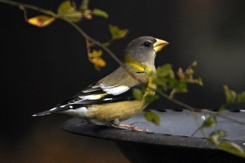 evening grosbeak birdbath