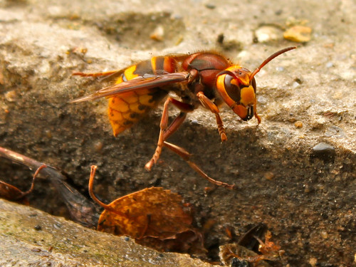 Queen hornet insectQueen Hornet Insect